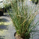 JUNCUS_TWISTED ARROWS